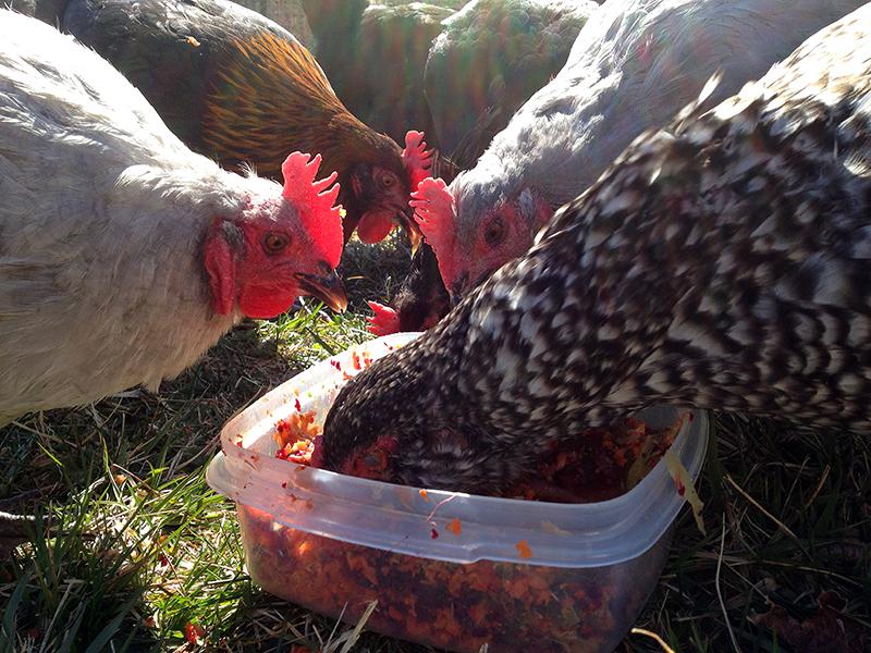 ChickenEyelidAWeb
