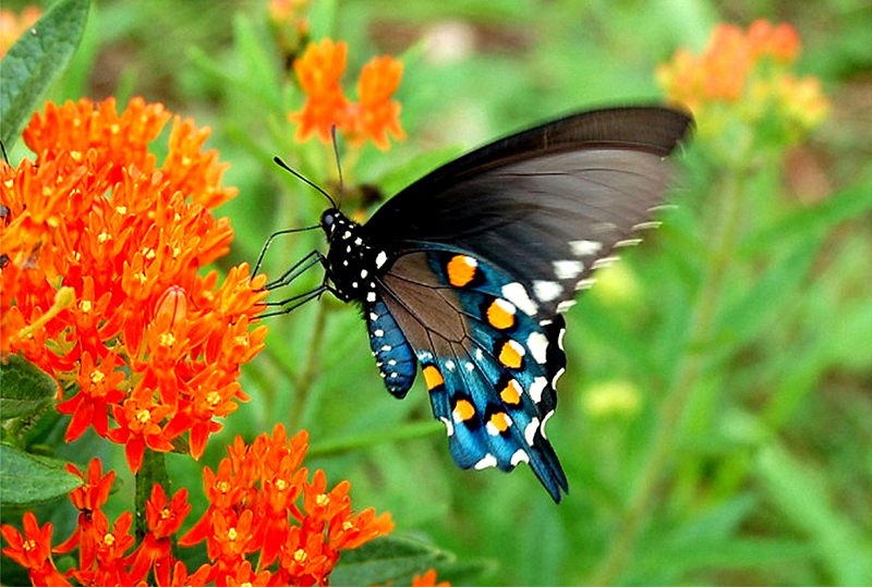 lep_pipevine_swallowtail593