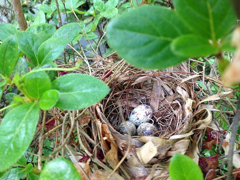 Cardinal EggsWeb