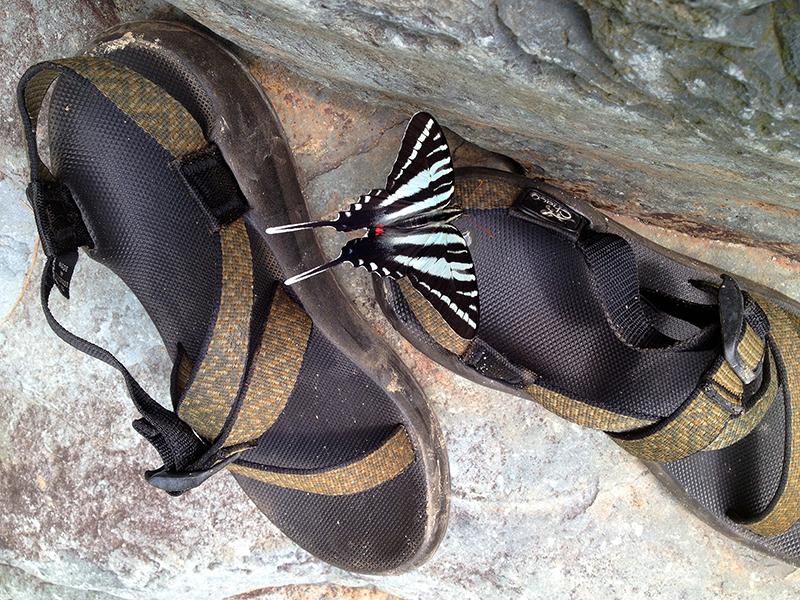 ZebraSwallowtailWeb