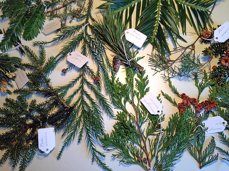 ConifersWeb